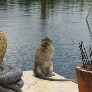 Långhårig katt som som sitter på en brygga och tittar ut över sjön.